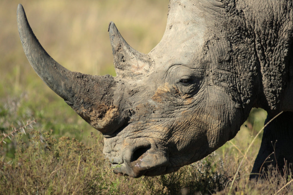synthetic-rhino-horn-1