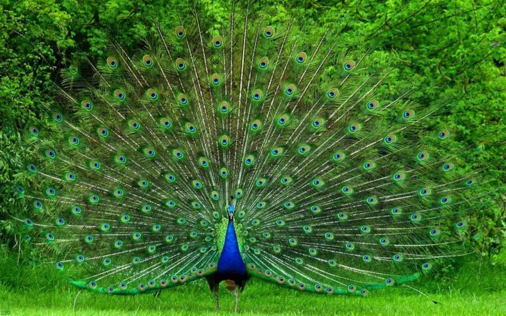 5e94e96b02562131c1f9d73afadc410a--peacock-tail-peacock-feathers