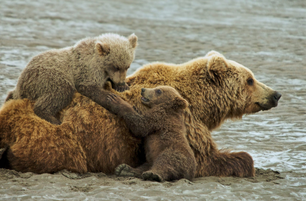grizzly-bear-family-playing