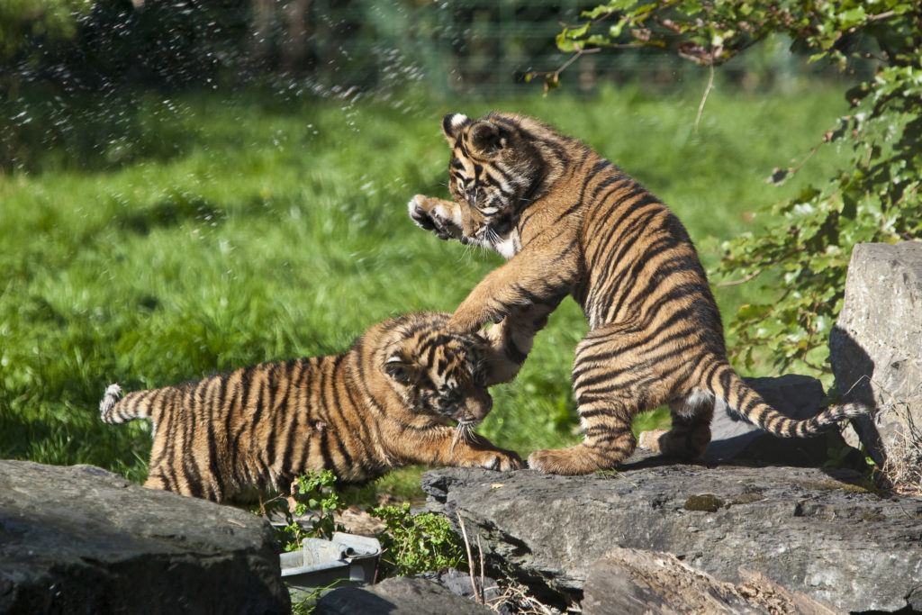 sumatran-tiger-cubs-playing